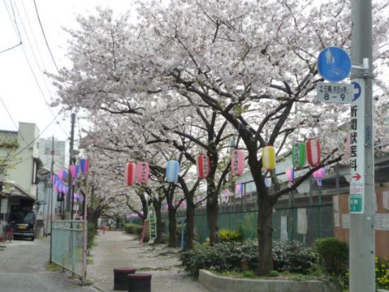 higashi  sakura.jpg